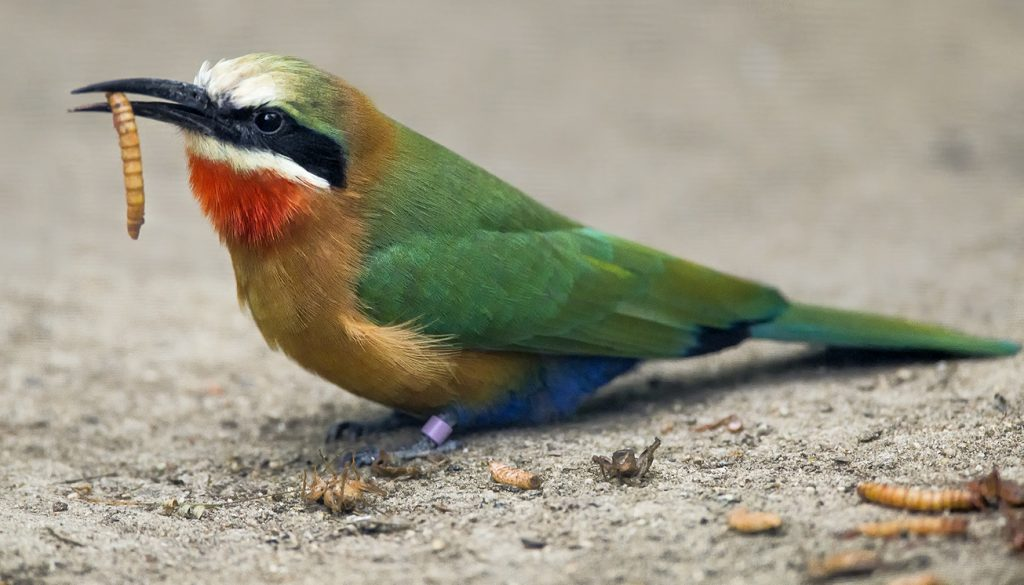 VARIETY ADDS SPICE Despite their name, bee-eaters also feed on other types of insects and invertebrates.