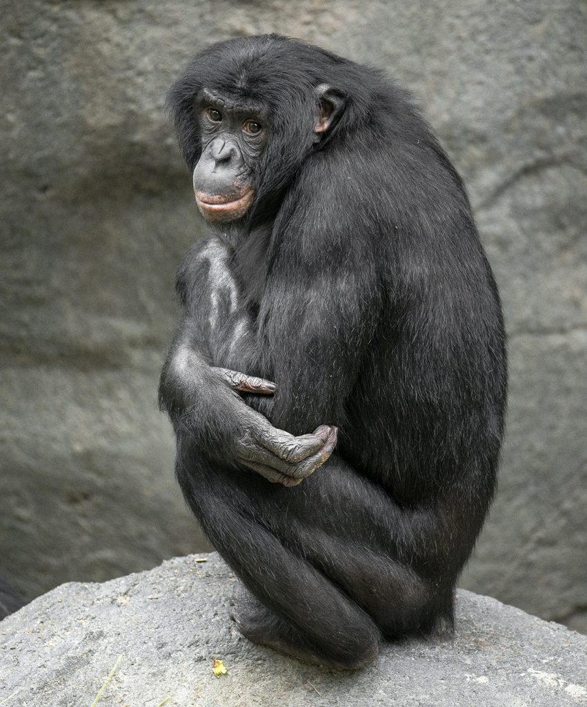 ZOO MATCH DOT COM Bonobo Vic (this photo) is a genetically good match for Loretta (preceding photo).