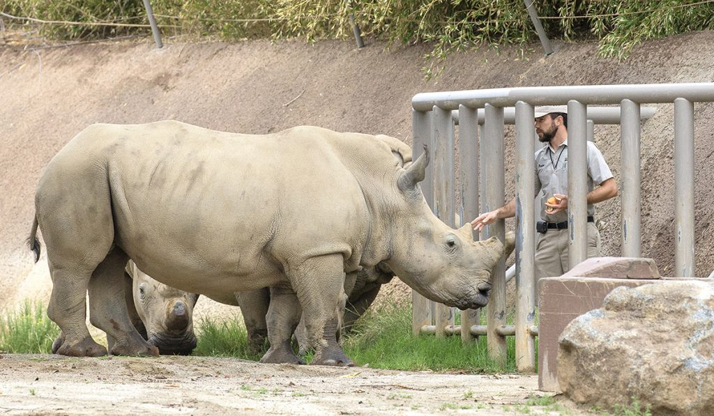 A STRONG FOUNDATION Keepers work with the rhinos daily to establish a bond of trust.
