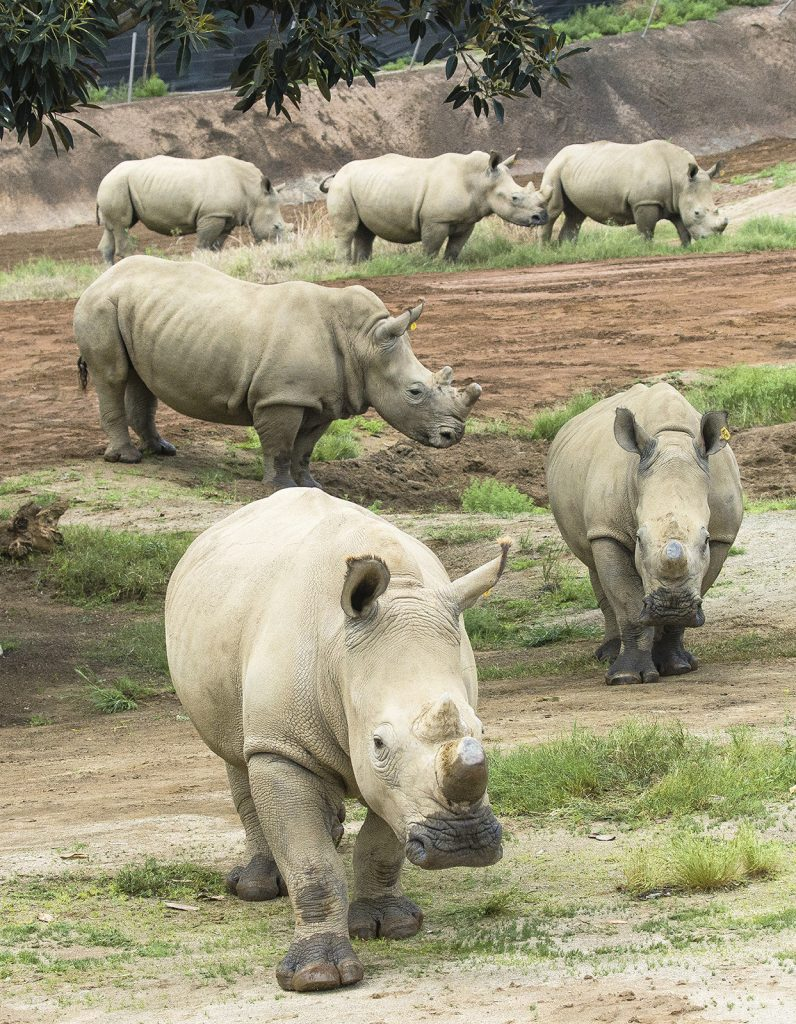 SETTLED IN SAN DIEGO The six female rhinos brought to the US to serve as surrogate mothers quickly became comfortable with their new home.