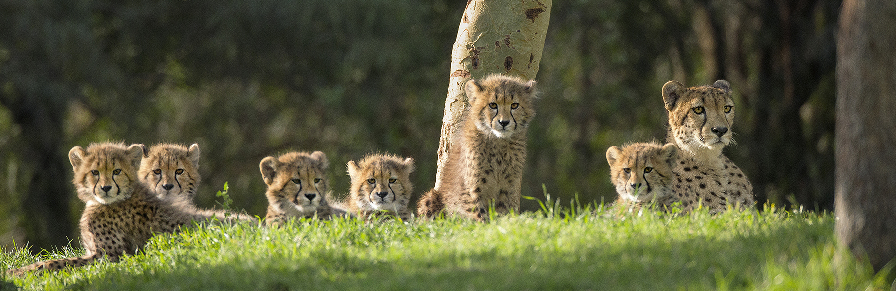 GET AN EYEFUL With six fast, feisty cheetah cubs, mom Addison has a lot to keep track of. The cubs are also doing a lot of watching, as their Okavango Outpost exhibit area provides a commanding view of rhinos, giraffes, and other animals in East Africa.