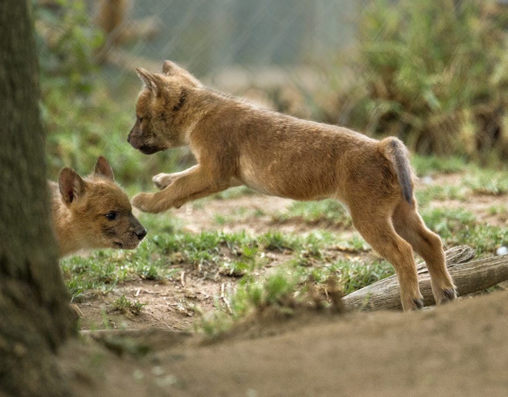 LET'S PLAY While dholes differ from domesticated dogs in many ways, one thing they have in common is that they love to play—with siblings, with sticks, or in a pool of water.