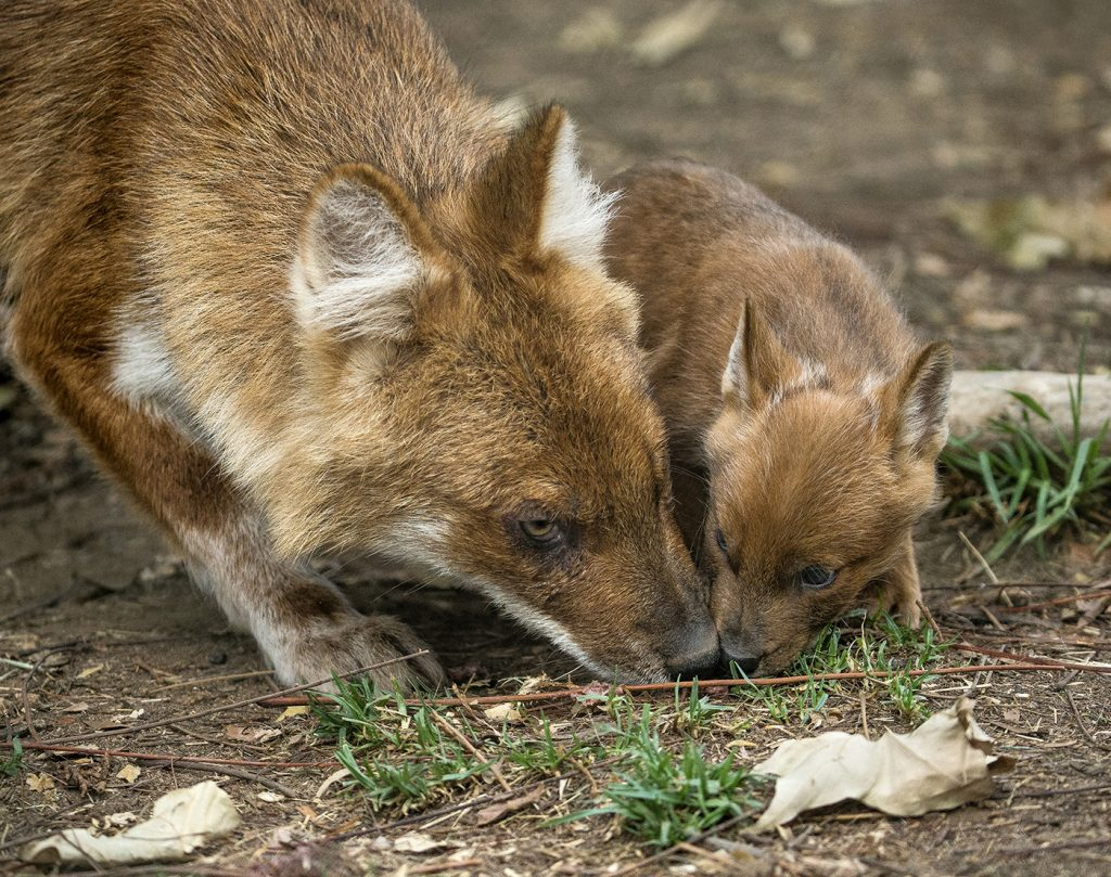 "NOT REALLY A KISS Dhole pups engage in ""food-begging"" behavior, licking at an adult's mouth to show that they're hungry."