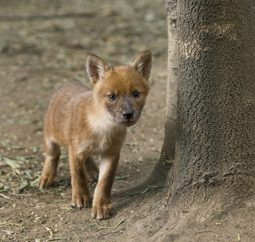 WHAT'S THAT? Even as pups, dholes are wary of anyone they haven't seen before or anything unusual in their surroundings.