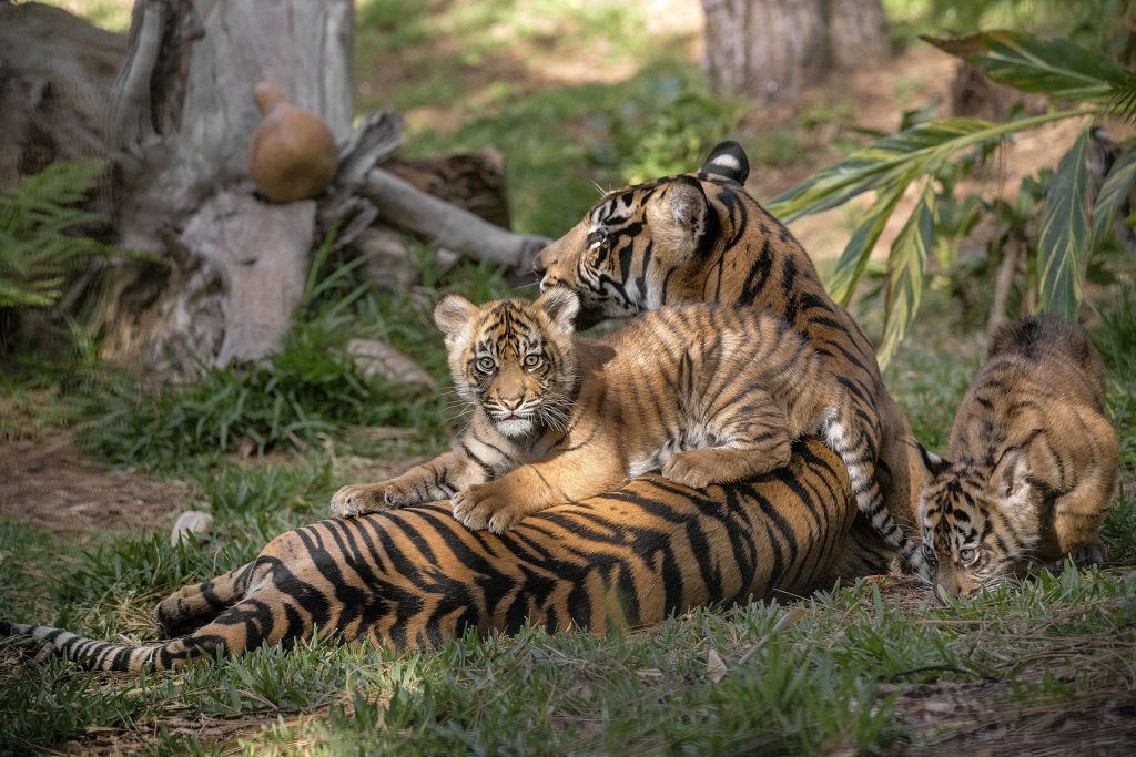 STICKING CLOSE TO MOM Although Sumatran tigers are a solitary species as adults, Joanne's cubs are very social right now—and they stick close to her as they learn behaviors and gain physical abilities they will need when they grow up.