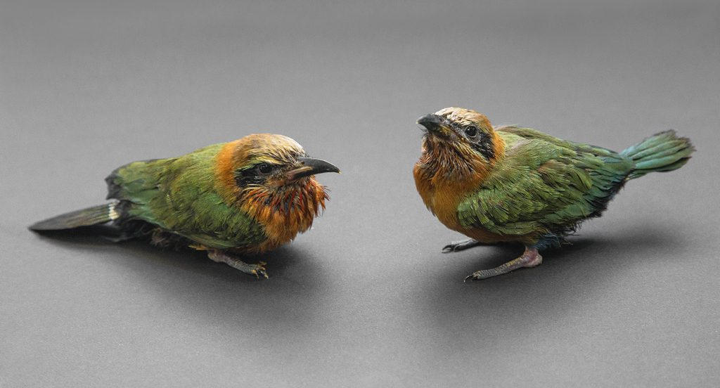 PRIDE AND JOY The San Diego Zoo Safari Park has hatched more than 100 white-fronted bee-eaters, including these two chicks from the 2016 generation.