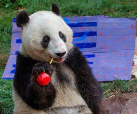 San Diego Zoo Celebrates Giant Panda Xiao Liwu's Fourth Birthday