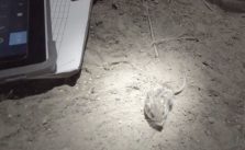 Released Pacific Pocket Mice Ace Health Checks