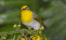 Restoring a Hawaiian Forest for the Palila