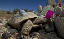 Habitat Is a Crucial Factor in Survivability of Released Tortoises