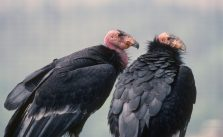 Vulture Culture: The Socialization of Young California Condors