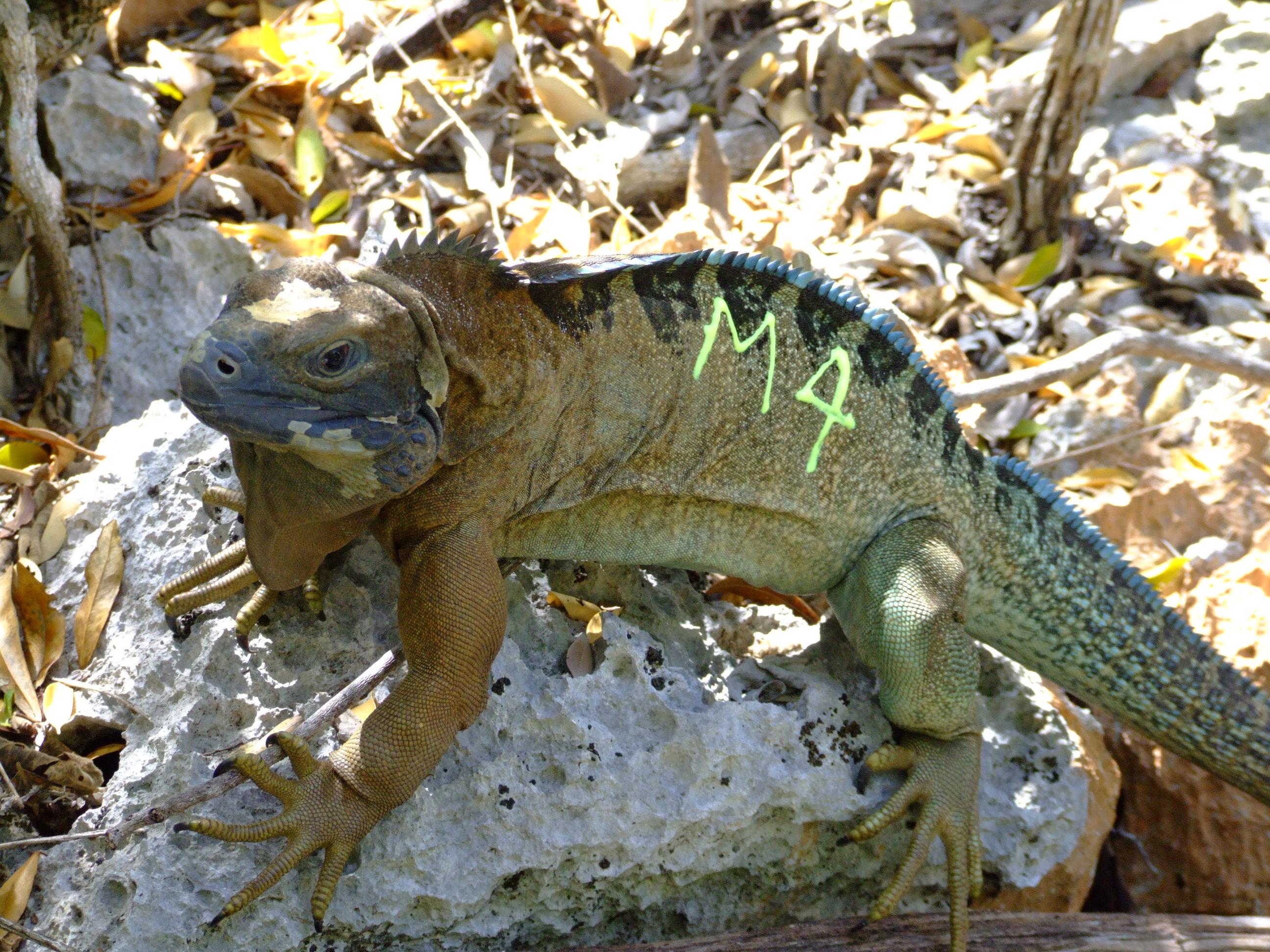 San Diego Zoo Global Aids Critically Endangered Jamaican Iguana