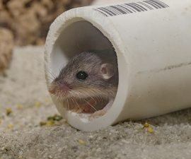 San Diego Zoo Global Achieves Milestone in Pacific Pocket Mouse Recovery Program