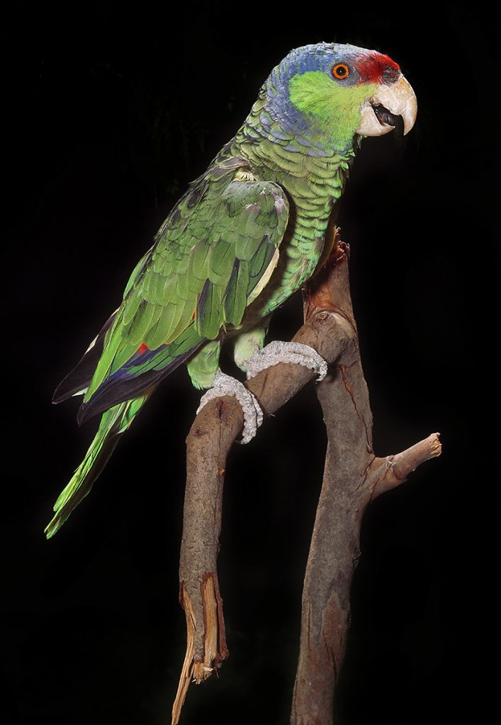 "AVIAN ADVERSITY Birds, like this lilac-crowned parrot, are brutally captured, ""packaged,"" and smuggled to be sold in pet shops or online. Few survive the journey."