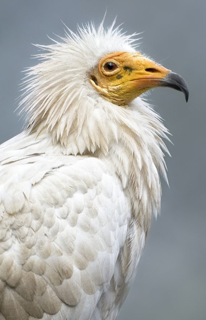 HEADER HERE Egyptian vulture from cover caption to go here