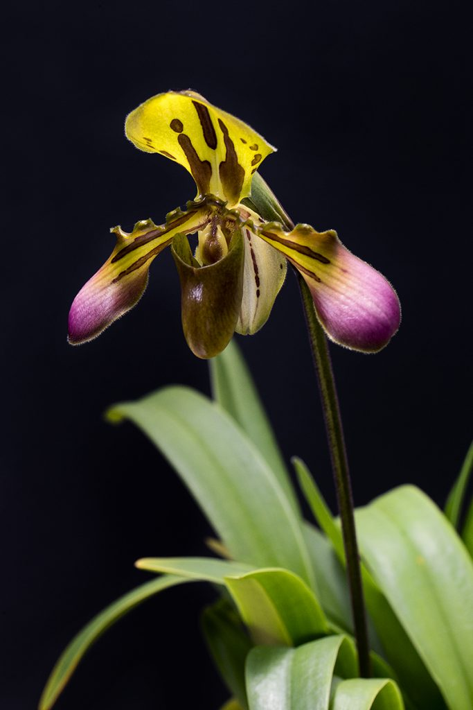 UNCOMMON BEAUTY This Paphiopedilum callosum orchid is one of the most confiscated plants at border crossings.