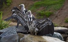 Vultures Face Many Threats—but You Can Help Them Survive