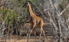 Defending the Towers: Giraffe Conservation Update