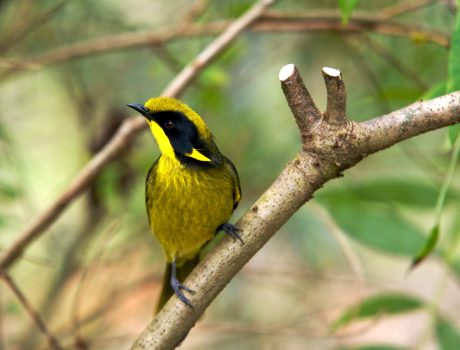 helmeted-honeyeater