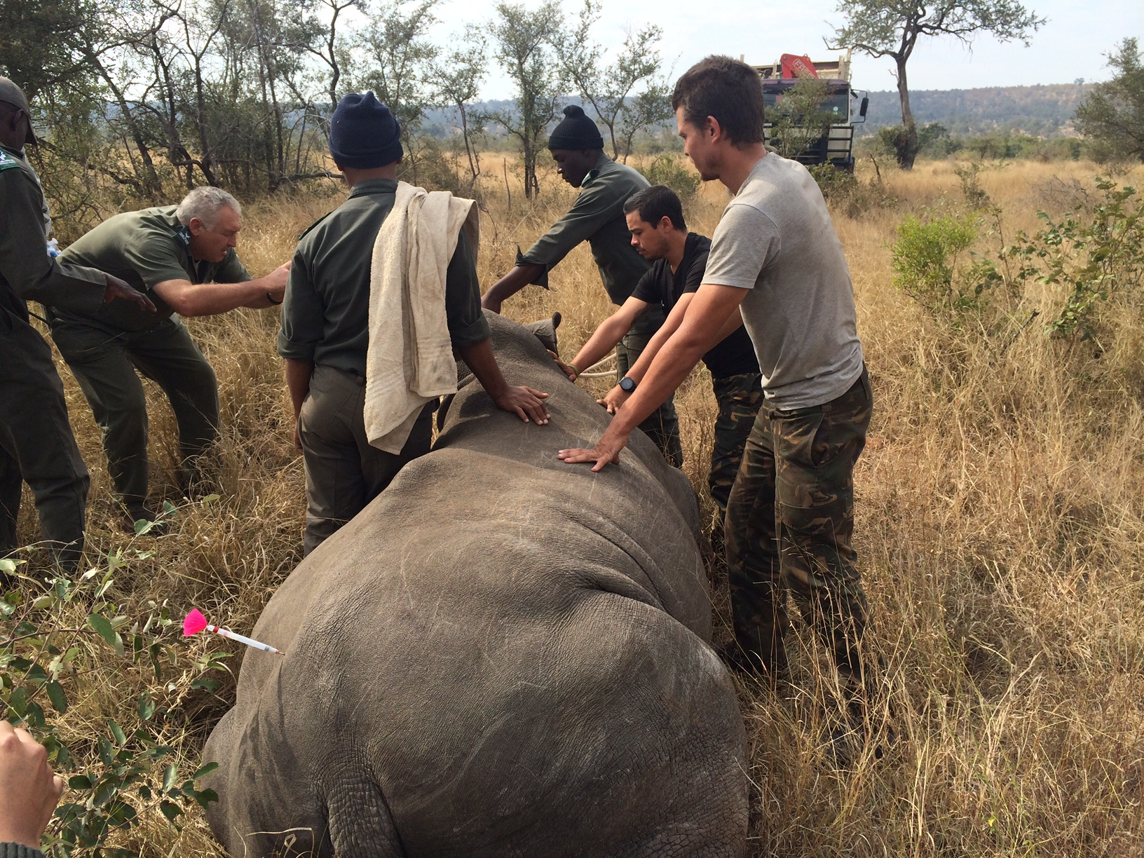Relocating with SANPARKS veterinary crew a southern white rhino as part of a strategic plan to move them to a more defensible area within Kruger National Park