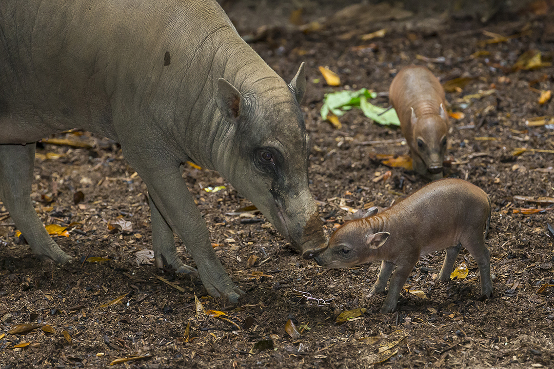 "First-ever Sulawesi Babirusa ""Figlets"" Born at the San Diego Zoo"