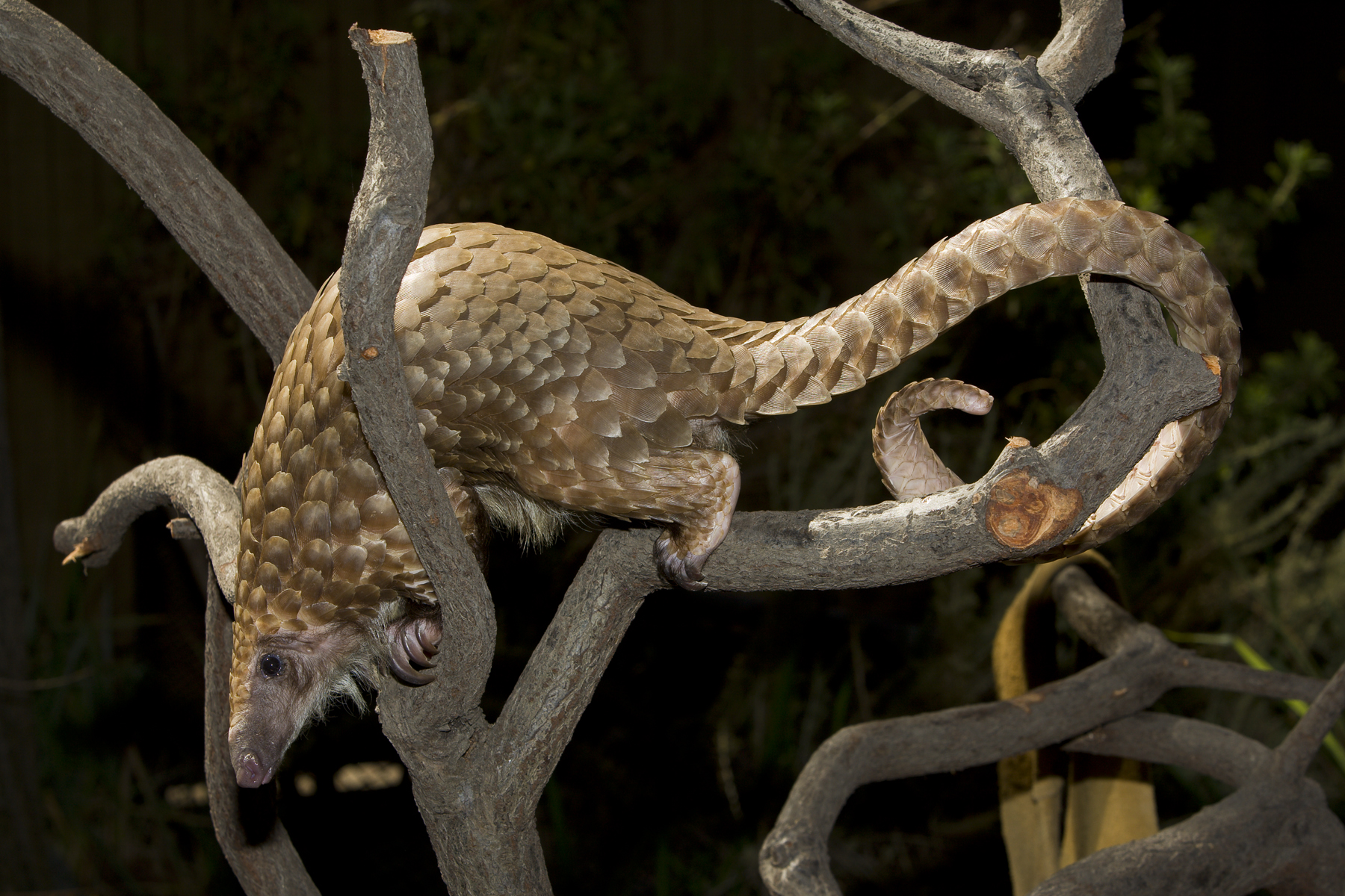 CITES Unites to Change the Fate of Pangolins