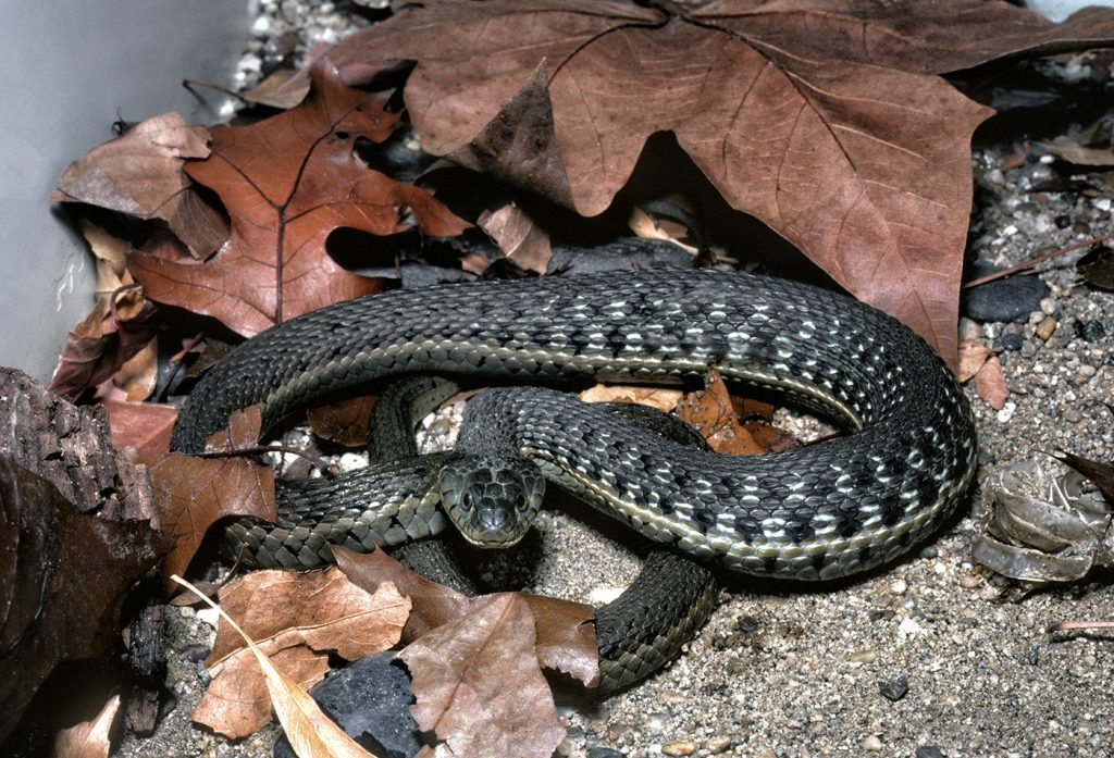 """A DISAPPEARING LOCAL While two-striped garter snakes were once commonly seen in Southern California, this vanishing local is now a """"species of special concern."""""""