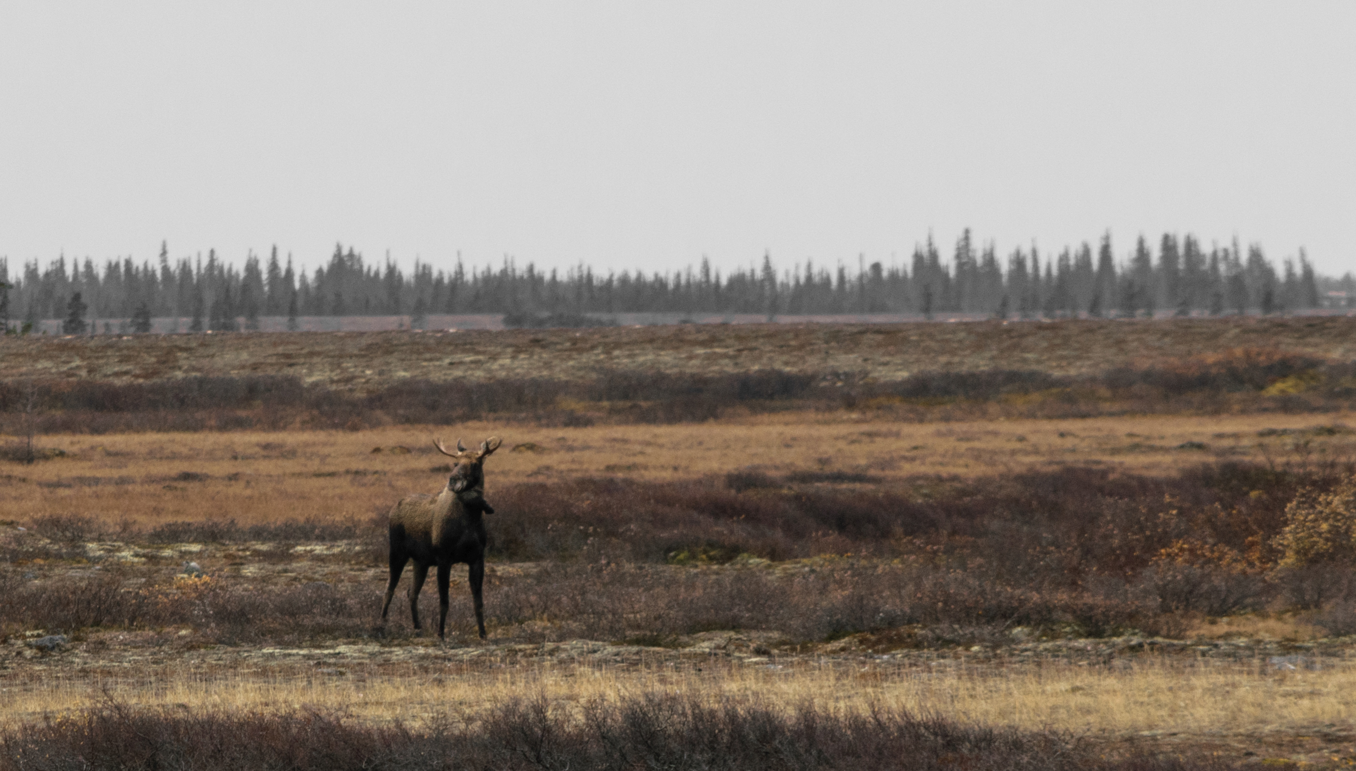 According to our Parks Canada guide, moose aren't common during this time of year.
