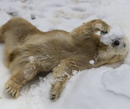 New Collaboration Aims to Answer Critical Questions About Polar Bear Conservation, Using Innovative Technology