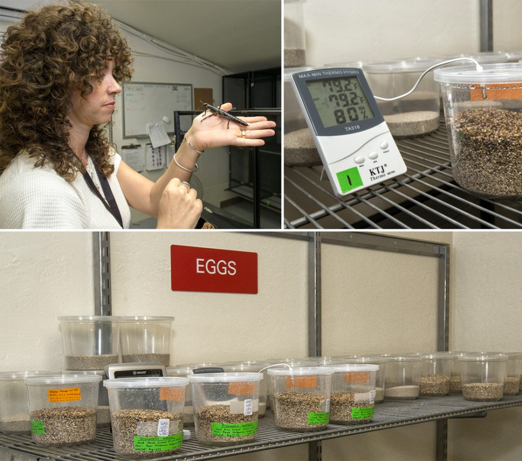 NYMPH NURSERY AT THE ZOO From top left: Paige holding an adult Lord Howe Island stick insect; the insect eggs are closely monitored and must be kept at just the right temperature and humidity; each egg's outcome is documented.