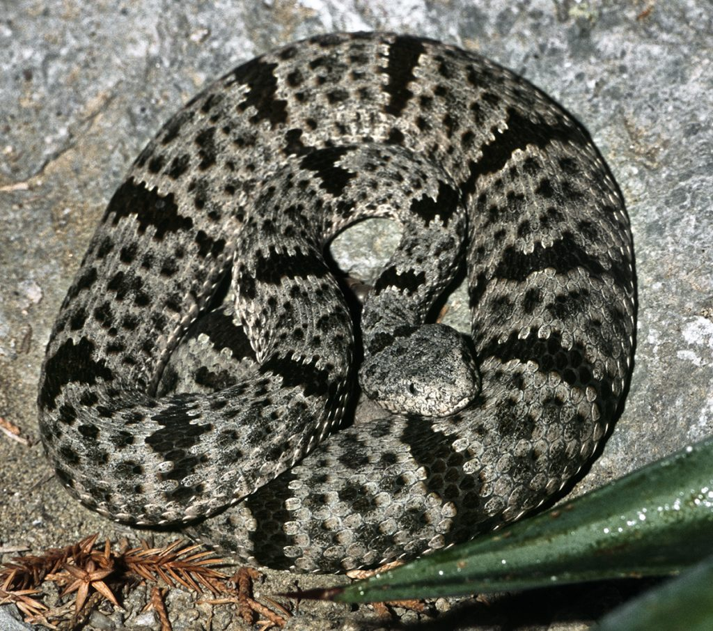BUILT-IN CAMOUFLAGE The banded rock rattlesnake's contrasting body color blends in with the colors of the lichen-covered rocks in its southwestern US habitat.