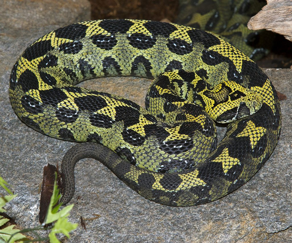 MOUNTAIN GROWN The highlands of southwestern Ethiopia, where coffee is grown, are home to the rarely seen Ethiopian mountain adder.