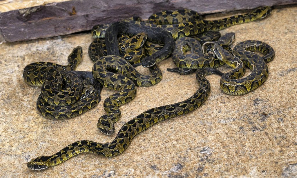 PRECIOUS BABIES The San Diego Zoo is the only US zoo to have successfully bred Ethiopian mountain adders.