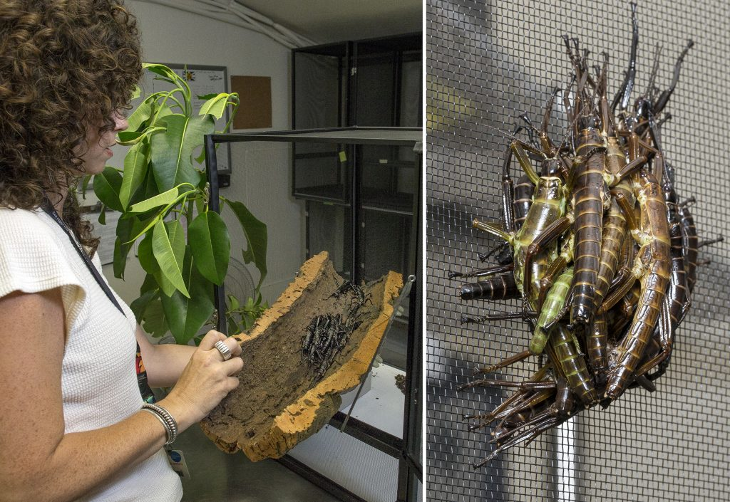 """LIVING LARGE Left: Paige checks out the insects """"bonding"""" inside a log. Right: Leaving nymph-hood behind, these stick insects find safety in numbers. """"Teenagers,"""" sporting lingering green, are hanging out in a cluster with the darker adults."""