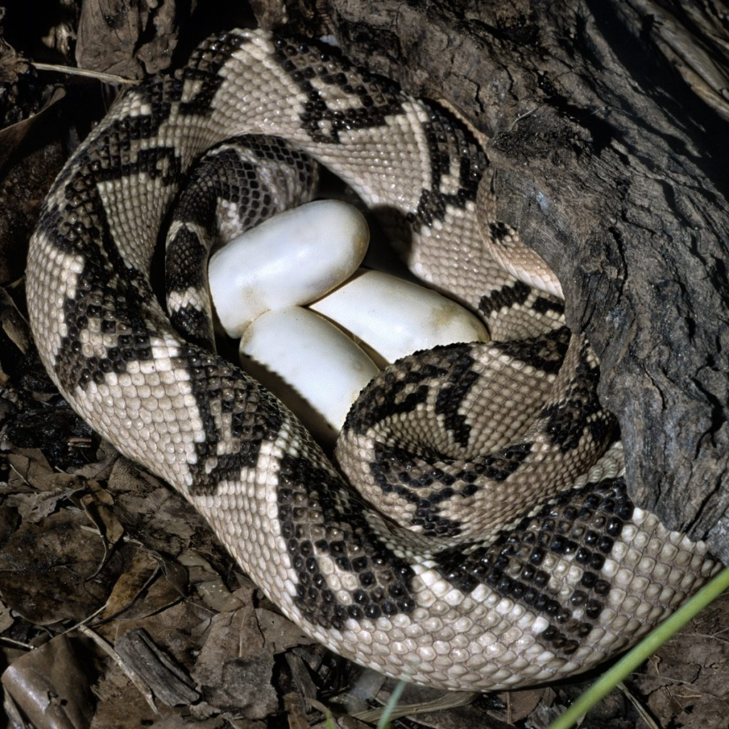 BIG MAMA The South American bushmaster is the longest pit viper in the Western Hemisphere, with some measuring up to nine feet. Unlike most New World vipers, it lays eggs.