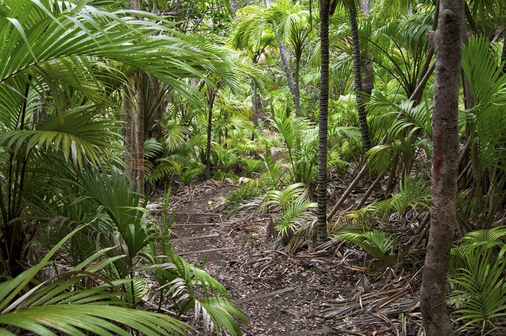 FOREST FOR THE TREES An inviting walking track through a forest of curly palms Howea belmoreana, on Lord Howe Island, Australia.