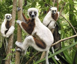 Coquerel's Sifaka (Propithecus coquereli) trio in trees, Ankarafantsika National Park, Madagascar