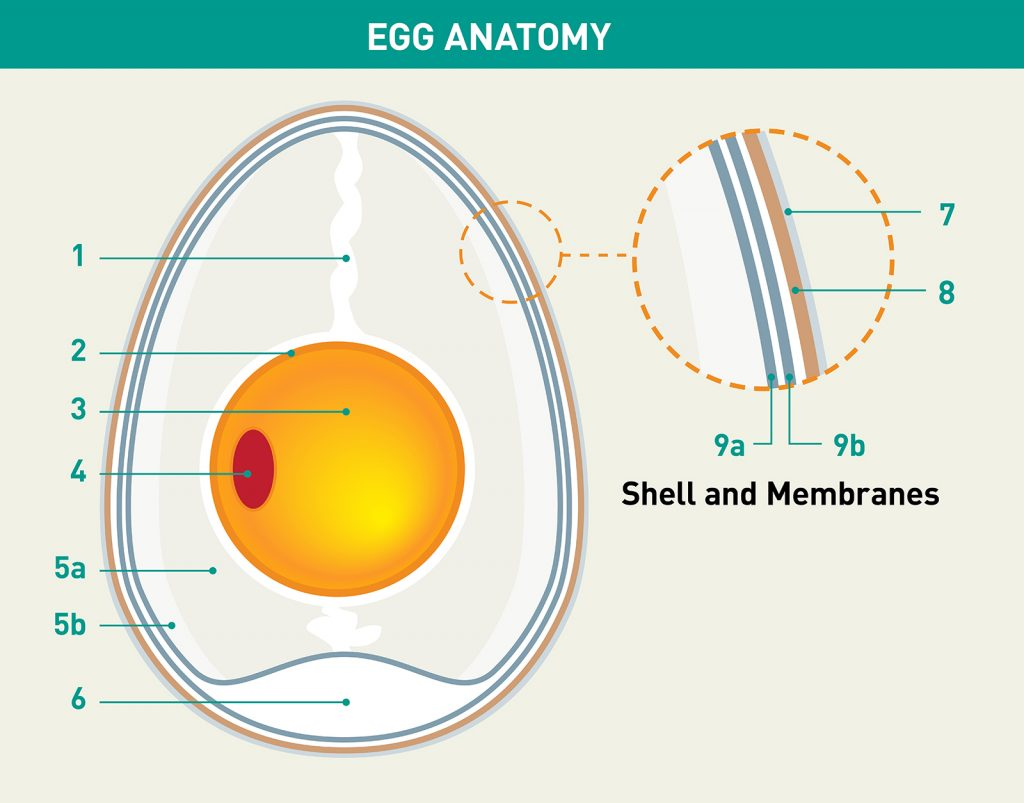 "STRUCTURAL ""INT-EGG_RITY"" The architecture of an egg is truly impressive. It contains all the structures, genetic material, and biochemical processes required to build a bird, all in a streamlined, efficient, and quite beautiful form. 1. Chalazae If you've ever noticed those white, threadlike pieces when you crack open an egg, you're seeing the chalazae, which are twisted strands of protein fibers that attach the main compartments of the egg to the shell to aid in stability. 2. Chorion This membrane encloses the yolk and embryo, but it is permeable to let water in and allow for the exchange of oxygen and carbon dioxide. 3. Yolk This is the nutrient-rich food source for a developing embryo. It contains fat, cholesterol, protein, vitamins, and minerals that the chick absorbs, and the yolk reduces in size as the chick grows. All bird egg yolks are yellow or red (yes, red!). Why? Because they contain high levels of carotenoids, which provide nutrients and are thought to protect the embryo from free radicals that might damage the DNA of the developing chick. 4. Blastodisc or Germinal Disc In a fertilized egg, this is the combined genetic material from the female and male birds that will develop into a chick. In an unfertilized egg, this spot is only genetic material from the female and is unable to become an embryo. 5a/5b.Thick and thin albumen These layers make up the albumen, known as the egg white, which accounts for about 65 percent of an egg's weight. The albumen provides hydration and acts as a shock absorber when the egg is moved, such as during incubation when a parent bird turns the egg to keep heat distribution even. The albumen also contains proteins and enzymes that have antimicrobial properties. These enzymes are activated by heat, so incubation helps an embryo develop and protects it from infection. 6. Air Space A cushion of air between the shell membranes provides extra shock absorption. 7. Cuticle Just before an egg is laid, a thin coating called the cuticle or bloom is applied. In some birds, like the tinamou, this layer is almost lacquer-like and partially fills in pores, creating a very glossy, shiny egg. 8. Shell The outer shell is made of layers of mostly calcium carbonate, which are deposited within the female bird's body as the egg travels down the oviduct. It takes about 20 hours to complete the shell. While the shell is rigid and looks smooth, it is actually semi-permeable, with tens of thousands of microscopic pores that allow for gas exchange and the release of water vapor. In other words, eggs breathe! Some shells have more and bigger pores or a looser construction, and they can appear rough, bumpy, or chalky. Tighter construction and smaller pores make a smoother egg. 9a/9b.Inner and outer shell membranes These two membranes sandwich a layer of air, which provides additional cushioning. Like the chorion, these membranes are permeable to allow gas exchange. They also act as barriers to prevent the egg from drying up and to prevent bacteria from getting in."