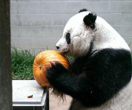 gao_pumpkin