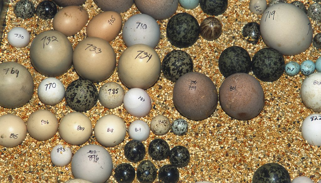 HEADER HERE At the Zoo's off-exhibit Avian Propagation Center, eggs pulled for propagation are carefully labeled. This assortment shows some of the remarkable diversity in bird egg sizes, shapes, and colors.
