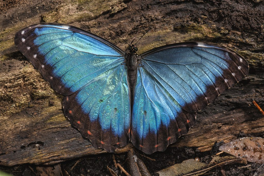 Blue morpho butterfly Morpho peleides Butterfly wings are made up of thousands of tiny scales—and most are colorless. It's the way that light hits their many surfaces that creates the color we see—in this case, mostly blue light, refracting from many angles to create what our eyes see as shining, shimmering blues.