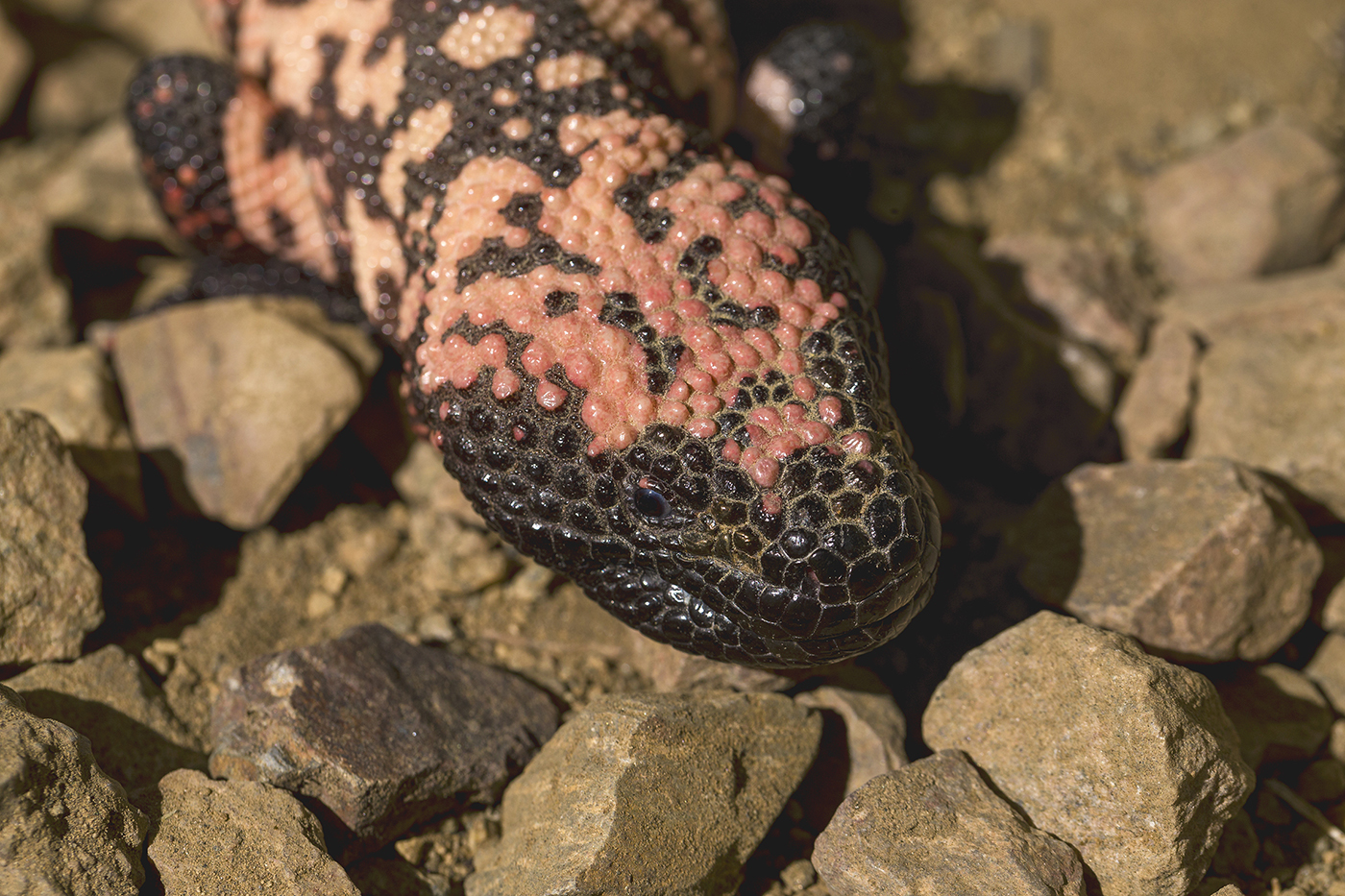 Gila monster Heloderma suspectum Like other reptiles, Gila monsters have three-layered chromatophores in their skin that produce their color. Unlike many reptiles, though, Gila monsters are not green—and they're not yellow, either. Their coloration is the result of the dark melanin layer dominating. The black areas have lots of melanin and the lighter areas have varying amounts, which combine with some of the xanthophore layer of yellow/red to produce everything from dark orange to almost pink.