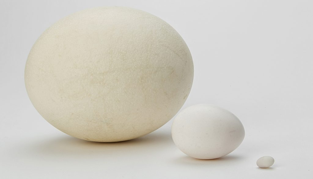 Same contents, different size: Whether it's a seven-inch ostrich egg, a two-inch chicken egg, or a quarter-inch hummingbird egg, each one contains all the structures and nutrients needed to make a chick.