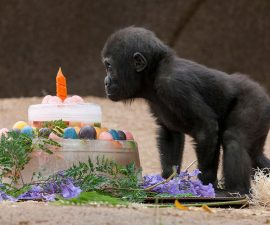 baby-gorilla-monroe-1