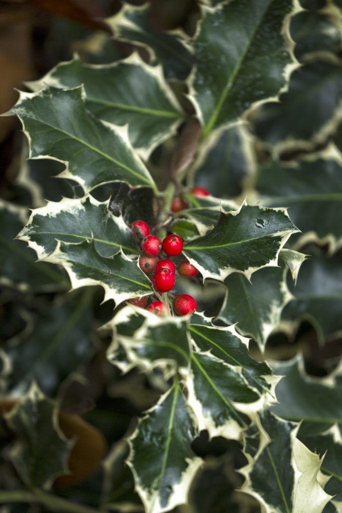 BERRIES FOR BIRDS Birds feed on red holly berries in a season when food is scarce. But they are mildly toxic to humans, dogs, and cats, so be careful with them around children and pets.