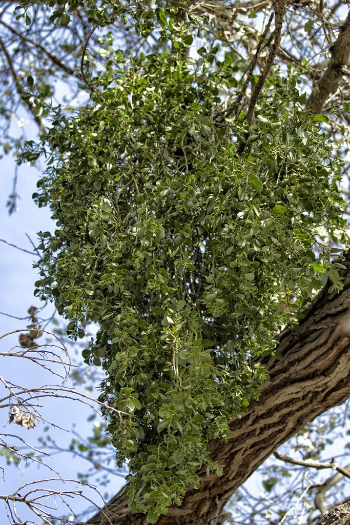 PARASITE Mistletoe grows on trees.