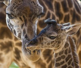 Giraffes Are Vulnerable: World Conservation Leaders Announce Species Status Change, Following Sobering Population Report