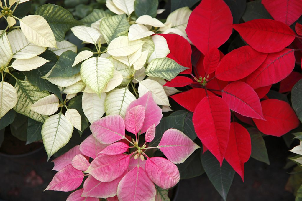 PICK YOUR POINSETTIAWhile most people think of poinsettias in the red-and-green color scheme, the plants can also be white, yellow, pink, and marbled.