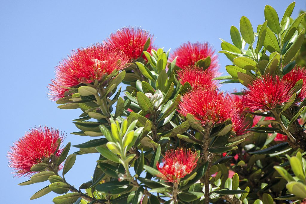 FESTIVE FLOWERS Lacking holly, New Zealand settlers used flowers of the póhutukawa to decorate their homes for Christmas.