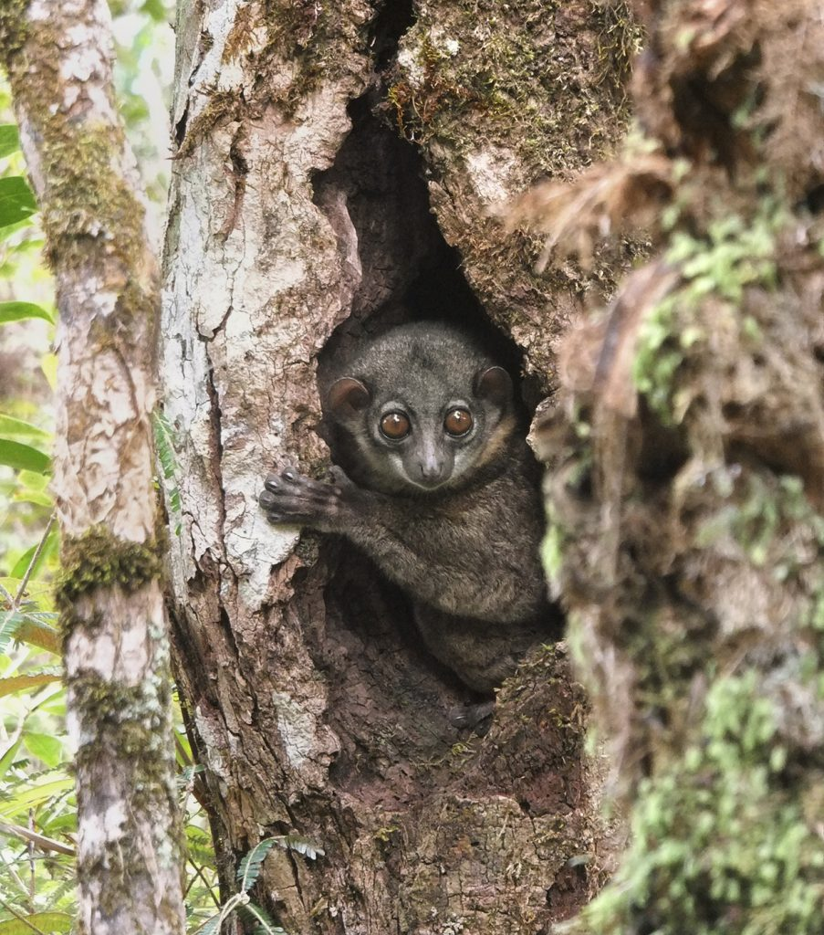 NIGHTY-NIGHT This arboreal sportive lemur, a nocturnal primate species of Madagascar, is heading to bed in its cozy tree hollow. Safe and secure sleeping sites help animals get a good night's (or day's) sleep. (Photo by Chia Tan, SDZG)